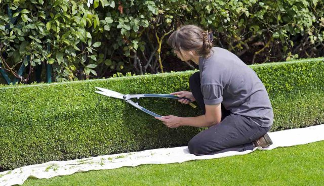 Woman-Using-Garden-Shears-to-Trim-Hedge-Public-Domain